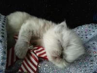 CHAMP SIRED HIMALAYAN & & PERSIAN KITTENS !! KITTENS