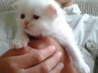 I have 2 gorgeous Himalayan kittens! 1 Male & 1 Female.