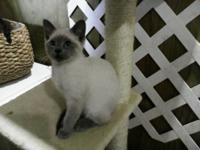 CFA registered Lilac Point Siamese. Home raised, in