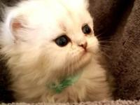 Luna is a teacup silver shaded female Persian. Luna has