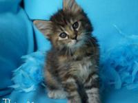 We have four lovely CFA signed up Maine Coon kittens
