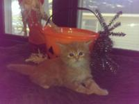 I have 3 Maine Coon kittens signed up CFA, they were