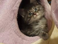 CFA Maine Coon kittens available in North Carolina.