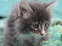 Litter of 5 beautiful Maine Coon kittens. We currently