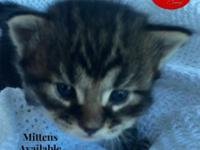 We have 5 beautiful purebred Maine Coon male kittens.