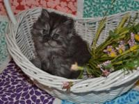 Ben is an adorable smoke doll face Persian. He loves to