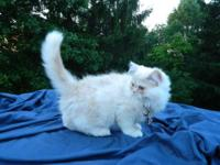 He's a cream cpc persian. Parents originated from