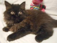 Hooty, a CFA Persian Exotic Longhair, was born