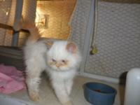 Beautiful CFA Flame Point Himilayan Persian (M). This