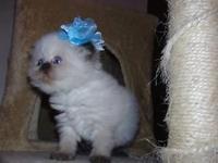 CFA Champion Bloodline Persian kittens, very cute,