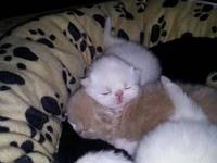 CFA Persian Kittens. I have two White and one Red