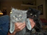I have 5 Persian kittens 1 male and 4 females (1 Blue