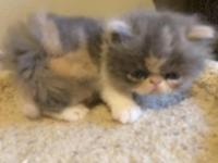 We have 6 adorable Persian kittens that come from grand