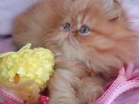 2 sweet little CFA Persian Kittens that will be
