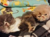 Beautiful Persian kittens ready for the new homes after