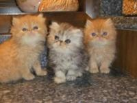 These three Persian beauties will be 8 weeks old on May