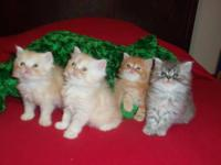 We have two beautiful doll face teacup CFA Persian