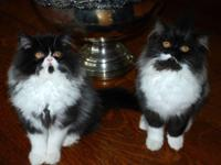 Lovely Monochrome Persian kittens birthed 12/25 to our
