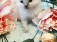 Amore Rags, presently has six kittens available. We