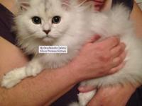 Beautiful Longhair Fluffy Male Persian Kitten. He is a