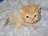 CFA signed up Male Red/Orange kittycat. Born Aug 11 he