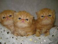 CFA Red Tabby Persian kittens. Yes we have Gingers!