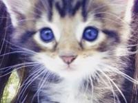 Adorable CFA Registered Maine Coon Kittens! Beautiful