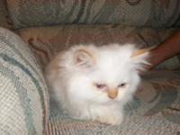 For Sale :Himalayan/Persian kitten CFA