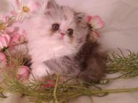 "CFA Registered Persian - D.Calico - ""Sydney"" $700"
