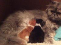 we have two sweet Persian kittens that will be ready