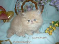 cfa reg,royal persian delightful ,wonderful a bi-color