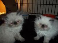 Beautiful CFA reg Seal point female Himalayan / Persian
