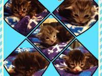 CFA Registered Maine Coon kittens born 3/14/15. Vet