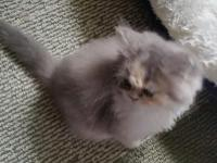 Dilute Calico Persian Kitten she will come up to date