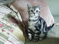Only 2 left! These purebred American Shorthair kittens