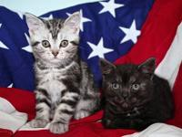 Just 2 kittens left! 1 Male Silver Tabby. 1 Female