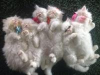 Persian kittycats ready for brand-new houses. Major