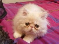 Cream and White male Persian Kitten he is 9 weeks old.