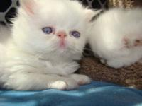 Extreme Face Cream Point Male Himalayan Kitten. Born
