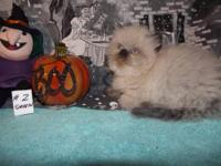 We have a CFA reg. female Seal Point Himalayan kitten