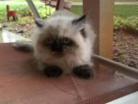 Himalayan female Kitten for sale, 10 weeks old, good
