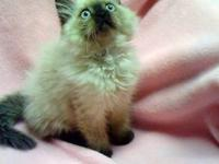 CFA Registered Himalayan kittens for sale, impeccable