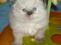 Tortie Point Female Himalayan Kitten. Born April 24th,