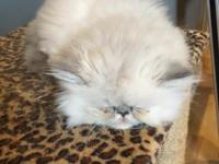 CFA registered Persian Himalayan kittens looking for