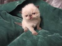 CFA registered seal point himalayan kitten for sale and