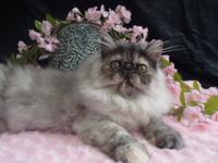 Breath taking CFA Registered Persian Female brown