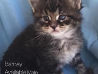 We have 5 purebred registered Maine Coon male kittens