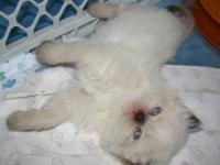 Seal Point Male Himalayan Kitten. Born April 24th,