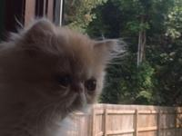 Meet 'Jose' Male Persian Kitten. Born May 5th. (Other