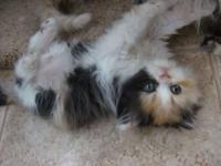 Meet 'Carmen' Female Persian Kitten. Born May 5th.